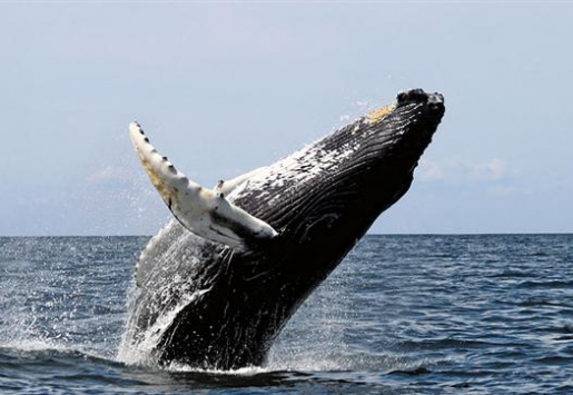 DOMINICAN REPUBLIC: WHALE WATCHING PARADISE