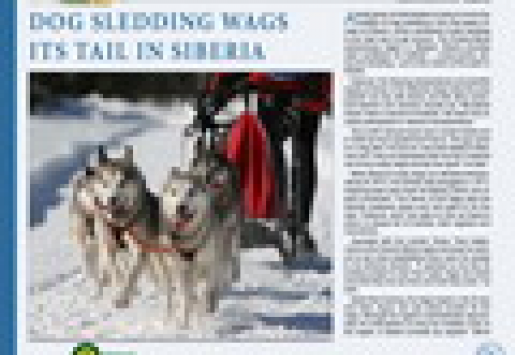 Dog Sledding Wags Its Tail in Siberia